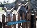 Curious donkeys - geograph.org.uk - 715138.jpg