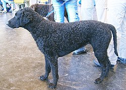 Curly Coated Retriever.jpg