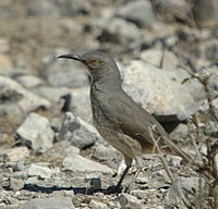 Curve-billed Thrasher 001