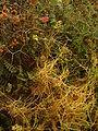 Cuscuta on Sarcopoterium spinosum RJP 01.jpg