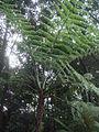 Cyathea caracasana.JPG