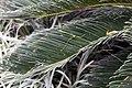 Cycas revoluta 21zz.jpg