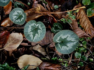 Cyclamen coum - Image: Cyclamen coum leaf (autumn)