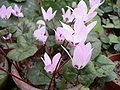 Cyclamen libanoticum01.jpg