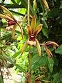 Cymbidium aloifolium 01.JPG