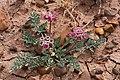 Cymopterus bulbosus - Flickr - aspidoscelis.jpg