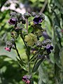 Cynoglossum officinale flowers fruits close up AB.jpg