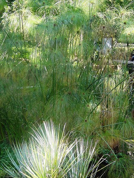 File:Cyperus papyrus.jpg