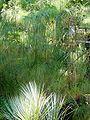 Cyperus papyrus.jpg