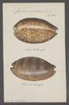 Cypraea exantema - - Print - Iconographia Zoologica - Special Collections University of Amsterdam - UBAINV0274 088 02 0010.tif