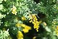 Cytisus x spachianus 4zz.jpg
