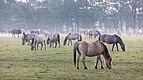 Dülmen, Merfeld, Dülmener Pferde im Merfelder Bruch -- 2018 -- 1535.jpg