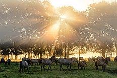 Dülmen, Merfeld, Dülmener Wildpferde in der Wildbahn -- 2016 -- 4740.jpg