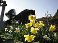 Daffodils at Niton St John the Baptist Church.JPG