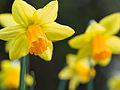 Daffodils on St. David's day (12857710784).jpg