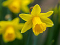Daffodils on St. David's day (12867218245).jpg