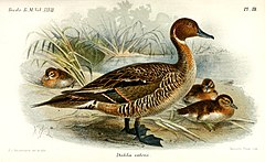 Illustration of an adult Eaton's Pintail with three ducklings by Keulemans