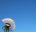 DandelionSeeds.jpg