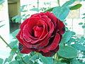 Dark Red Rose PIC00013.JPG