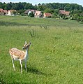 Das Damwild bei Geisfeld gibt es nicht mehr. - panoramio.jpg