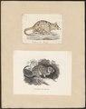 Dasyurus viverrinus - 1700-1880 - Print - Iconographia Zoologica - Special Collections University of Amsterdam - UBA01 IZ20300222.tif