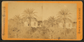 Date palm. St. Augustine, Florida, from Robert N. Dennis collection of stereoscopic views.png