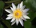 Daubeny's water-lily at BBG (43428).jpg