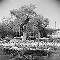 De tuin van de Church of the agony (Kerk van het heilige lijden) ook wel bekend , Bestanddeelnr 255-5332.jpg
