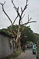 Dead Tree - Ghosh Para Road - Palta - North 24 Parganas 2012-04-11 9548.JPG