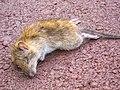 Deceased brown rat (Rattus norvegicus)-2.jpg