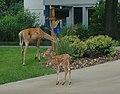 Deer (29152363798).jpg