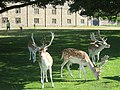 Deer in front of Knole Park - geograph.org.uk - 1451418.jpg