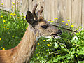 Deer in my compost pile (9232942024).jpg