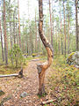 Deformed tree in Jyväskylä.jpg