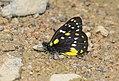 Delias belladonna dempoensis (28281178634).jpg