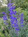 Delphinium sp. - Flickr - peganum (1).jpg
