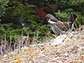 Dendragapus obscurus -Columbia Icefield, Canadian Rockies, Alberta, Canada -male-8.jpg