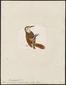 Dendrocolaptes picirostris - 1820-1860 - Print - Iconographia Zoologica - Special Collections University of Amsterdam - UBA01 IZ19200235.tif