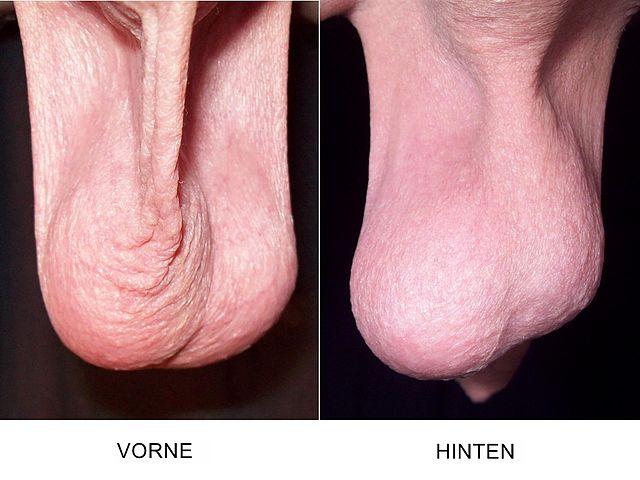 Datei:Der menschliche Hoden.jpg – Wikipedia