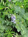 Derwentia perfoliata - Flickr - peganum.jpg