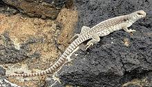 desert iguana sunning on a rock