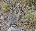 Desert Cottontail DSC5450vv.jpg
