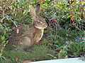 Desert Cottontail in yard 2013-01-04 (2).jpg