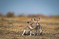 Desert Fox Pups interaction.jpg