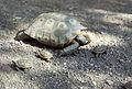 Desert Tortoise (8981478591).jpg