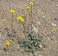 Desert gold Geraea canascens plant.jpg