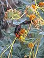 Desert insects Anza Borrego.JPG