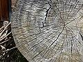 Detail of Felled Log - Sheki - Azerbaijan (17648833703).jpg