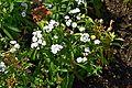 Dianthus barbatus 'Sweet' in Jardin des Plantes de Toulouse 02.jpg