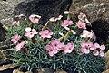 Dianthus gratianopolitanus ssp pulchellus 3.jpg